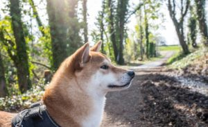 Shiba Inu in a black harness walking through the woods