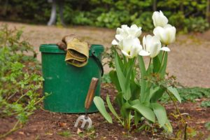 White tulips next to a green bucket and gardening tools
