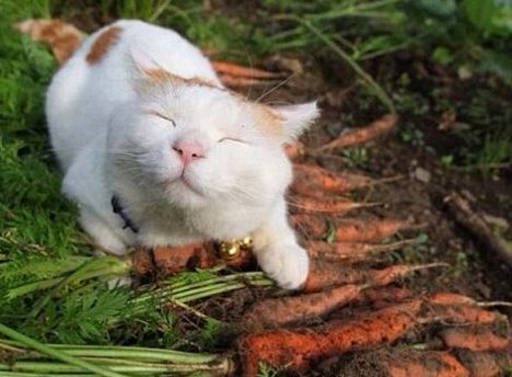 Cat smiling on freshly picked carrots